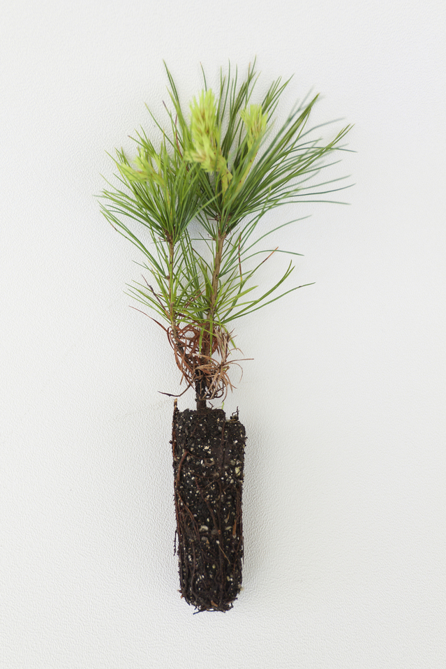 This sapling is presented on the day of graduation to serve as a reminder of the connections between the graduate, the College and the world. The saplings are white pine (Pinus strobes) and a gift of Athena Tsakanikas-Phillippides Õ86.